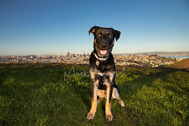 Happy Shepherd Mix Puppy Sitting on San Francisco Hill
