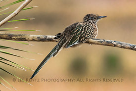 Greater Roadrunner on Yucca stem in City of Rocks State Park, New Mexico