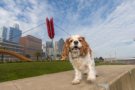 King Charles Spaniel near Cupids Span Sculpture in San Francisco