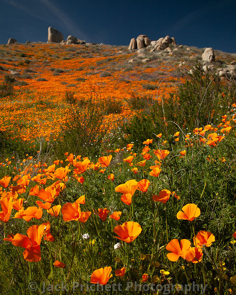 California desert wildflowers