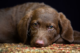 Close-up of Brown Retriever Puppy Resting nose on blanket