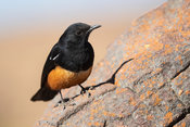 Mocking cliff chat, Thamnolaea cinnamomeiventris, Marakele National Park, Waterberg, South Africa