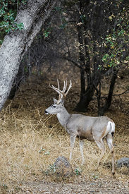 Mule Deer Buck in Sequoia National Park