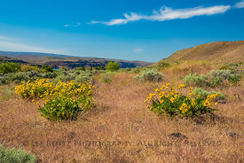Balsamroot Blooming in Frenchman Coulee, Washington