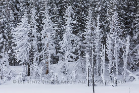 Snow-covered Conifer Trees in Newfoundland