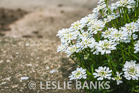 Candytuft Flowers on Garden Steps