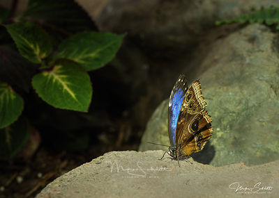 Rock_Blue_crop_2_clean_b_clone_sigButterfly_shoot_0259