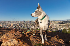 Cattle Dog Mix looking left High Above San Francisco