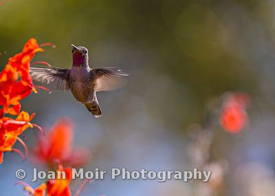 Hummingbird_Fall_Magic_IV