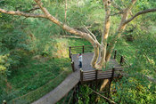 Bird watcher on the canopy walk with interlinking aerial platforms, Fig forest walk, uMkhuze Game Reserve, South Africa