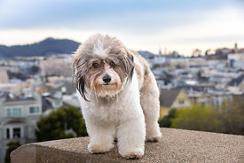 Fluffy Mixed Breed Dog  with Soulful Expression in SF Park