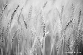 EARS OF WHEAT CLOSE UP PALOUSE EASTERN WASHINGTON STATE BLACK AND WHITE