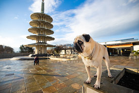 Pug Looking Left in SF Japantown Peace Plaza