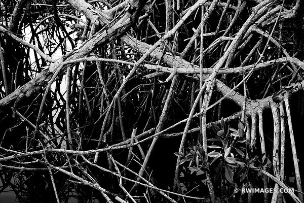 MANGROVES WEST LAKE TRAIL EVERGLADES FLORIDA BLACK AND WHITE