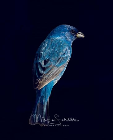 Indigo_Bunting_crop_exp_blur_blue_background_crop_sharp_L1010466