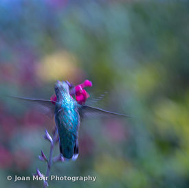 Hummingbird_Journey_X