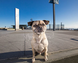 Pug Mix with Silly Smile at Pier 27 in SF