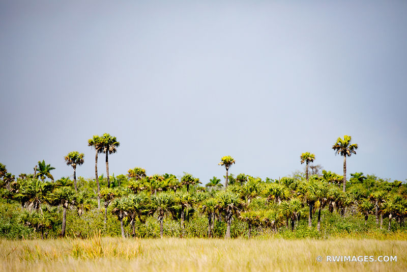PALM TREES BIG CYPRESS NATIONAL PRESERVE EVERGLADES FLORIDA