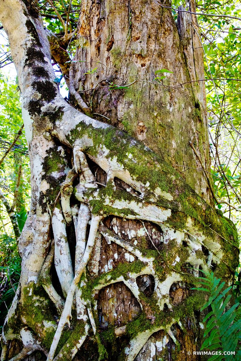 STRANGLER FIG BIG CYPRESS BEND FAKAHATCHEE STRAND PRESERVE STATE PARK EVERGLADES FLORIDA VERTICAL