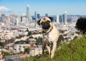 Pug On  Hill in San Francisco