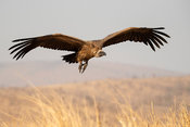 White-backed vulture in flight, Gyps africanus, Zimanga Game Reserve, South Africa