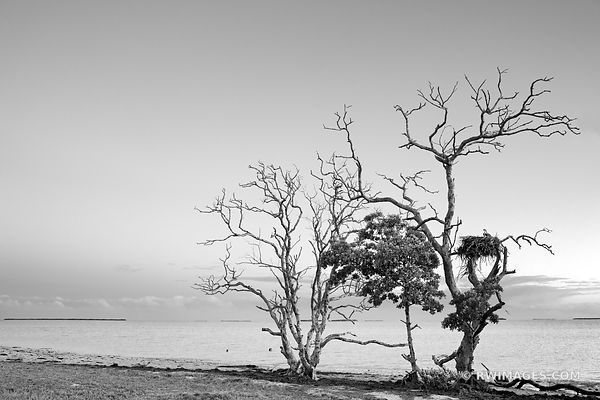 TREE WITH OSPREY NEST FLAMINGO AREA EVERGLADES FLORIDA BLACK AND WHITE