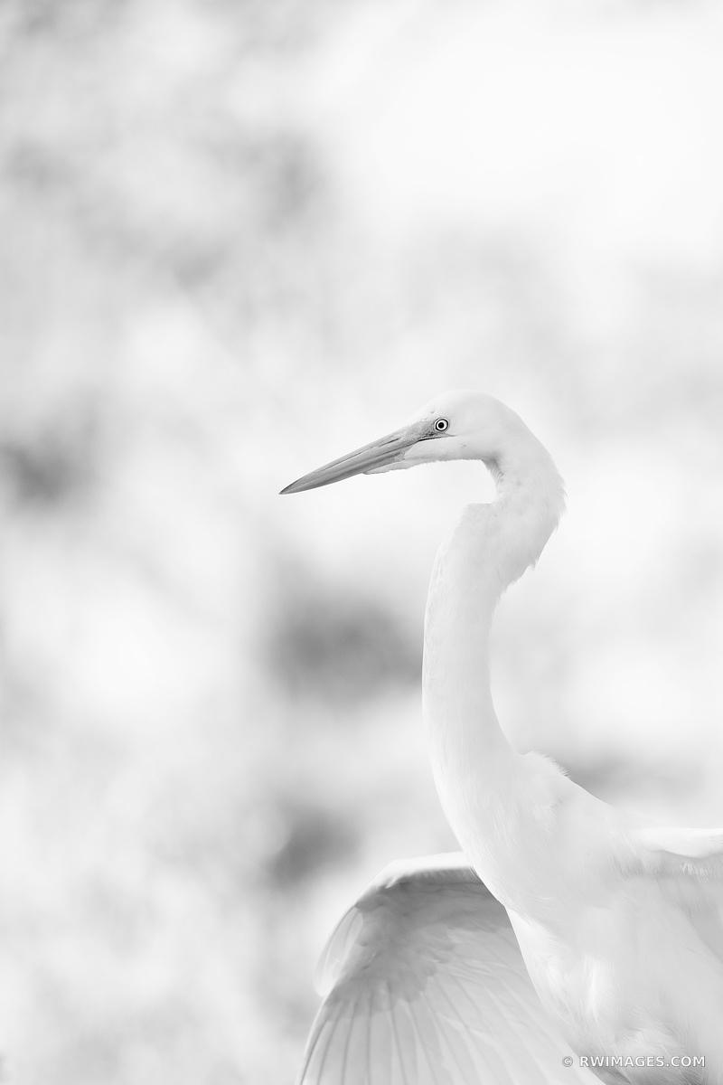 WHITE EGRET BIG CYPRESS NATIONAL PRESERVE EVERGLADES FLORIDA NATURE BLACK AND WHITE