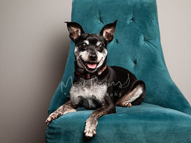 Studio Photo of Senior Chihuahua Mix on Blue Chair