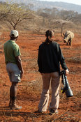 Tourist on walking safari photographing white rhinoceros, Ceratotherium simum, Pongola Game Reserve, South Africa
