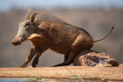 Warthog, Phacochoerus africanus, Welgevonden Game Reserve, South Africa