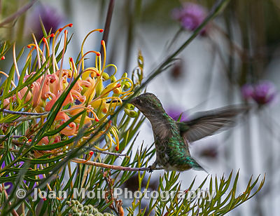 Hummingbird_Journey_III
