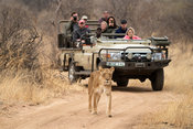 Lion and safari vehicle, Panthera leo, Balule Game Reserve, South Africa