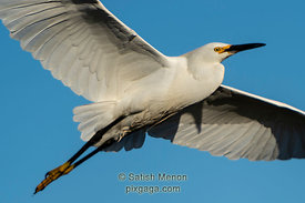 Egret in flight, Don Edwards San Francisco Bay Wildlife Refuge, Alviso, CA, USA