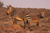 Cape mountain zebra, Equus zebra zebra, Mountain Zebra National Park, South Africa
