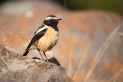 Buff-streaked chat, Campicoloides bifasciatus, Marakele National Park, Waterberg, South Africa