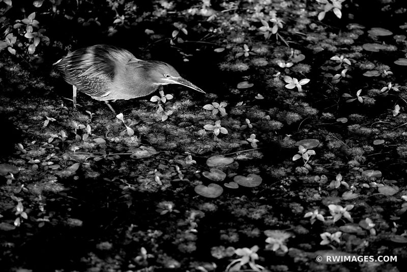 GREEN HERON BIG CYPRESS NATIONAL PRESERVE EVERGLADES FLORIDA BLACK AND WHITE