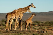 Southern giraffes with young, Giraffa camelopardalis giraffa, Samara Game Reserve, South Africa