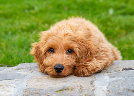 Cute Goldendoodle Puppy Close-up