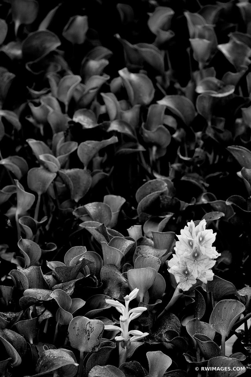 WINTER WILDFLOWERS KIRBY STORTER ROADSIDE PARK BIG CYPRESS NATIONAL PRESERVE EVERGLADES FLORIDA BLACK AND WHITE VERTICAL