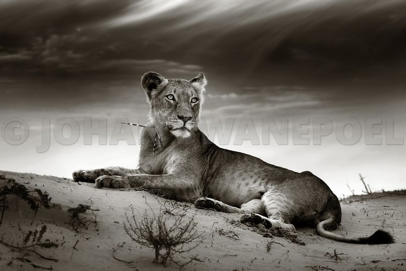 Lioness with porcupine quills - b&w fine art