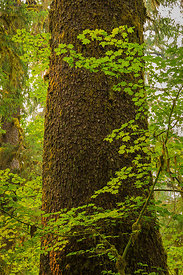 Sitka Spruce and Vine Maple Trees in Hoh Rain Forest