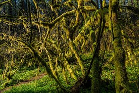 Mossy Vine Maples in Silver Falls State Park