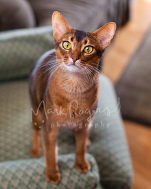 Abyssinian Cat Standing on Chair Arm