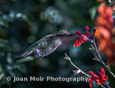 Hummingbird_Fall_Magic_V