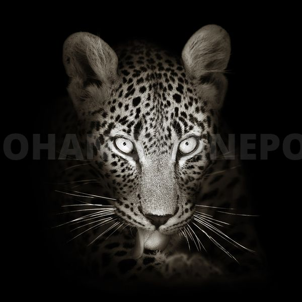 Leopard portrait close-up - b&w fine art