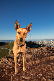 Large-eared Dog with Red Fur Large  on Twin Peaks in San Francisco