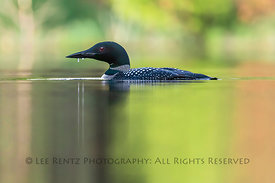 LOON ON IMP LAKE