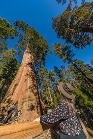 Sequoias in General Grant Grove in Kings Canyon National Park