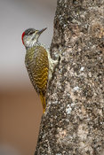 Golden-tailed woodpecker, Campethera abingoni, Kruger National Park, South Africa