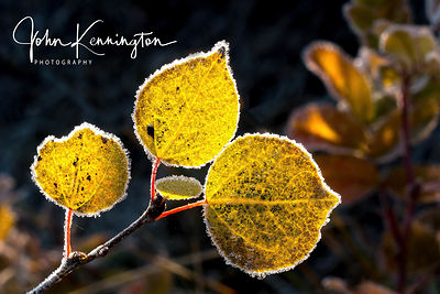 Forsten Aspen Leaves, Grand Teton National Park, Wyoming